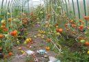 Посадка и уход за помидорами в теплице. Выращивание томатов в теплице от А до Я