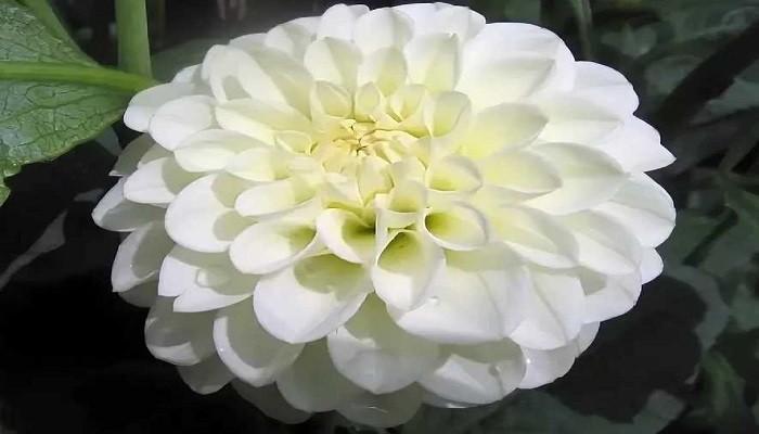 альбино