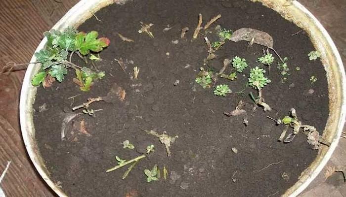 хранение хризантем на зиму