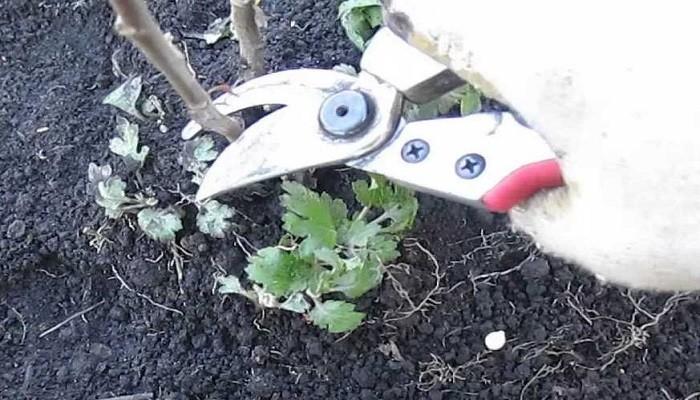 обрезание хризантемы