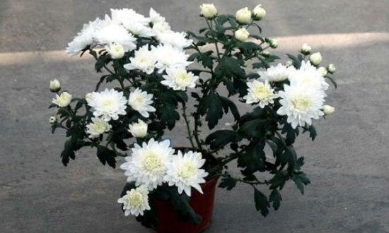 Хризантема Снежный эльф