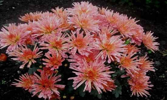 Хризантема стелла