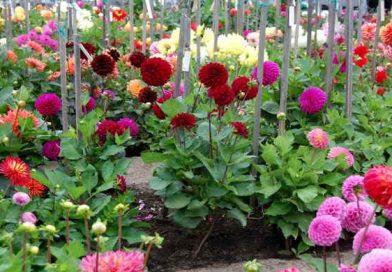 Садовые георгины – сорта, посадка и уход в открытом грунте