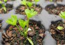 Как и когда сеять сельдерей на рассаду, сорта, уход и выращивание в открытом грунте