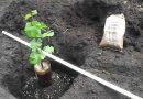 Как правильно сажать виноград саженцами весной в открытый грунт по регионам России