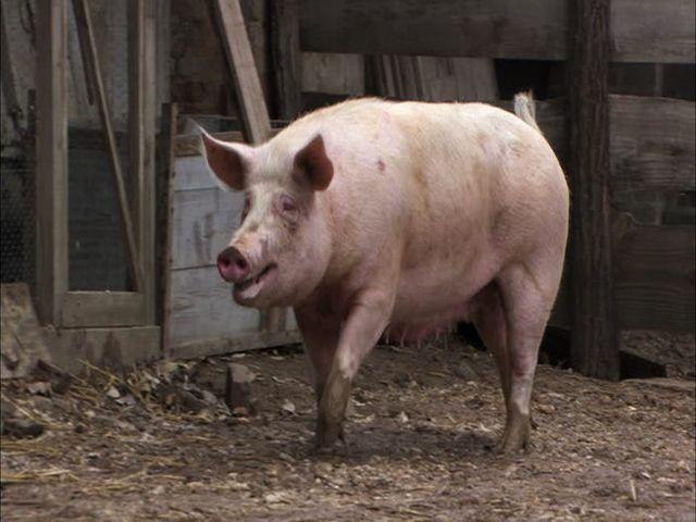 порода свиней для хамона