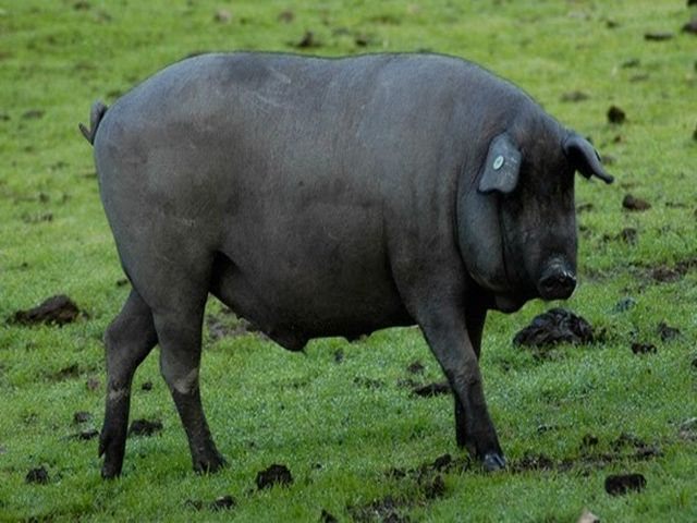 иберийская порода свиней
