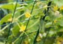 Огурцы, выращивание и уход — лучшие сорта, посадка в грунт, прищипывание и болезни