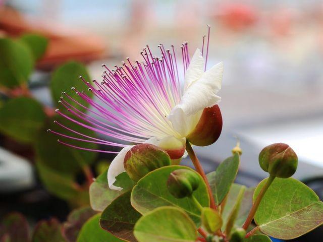 цветы каперсов
