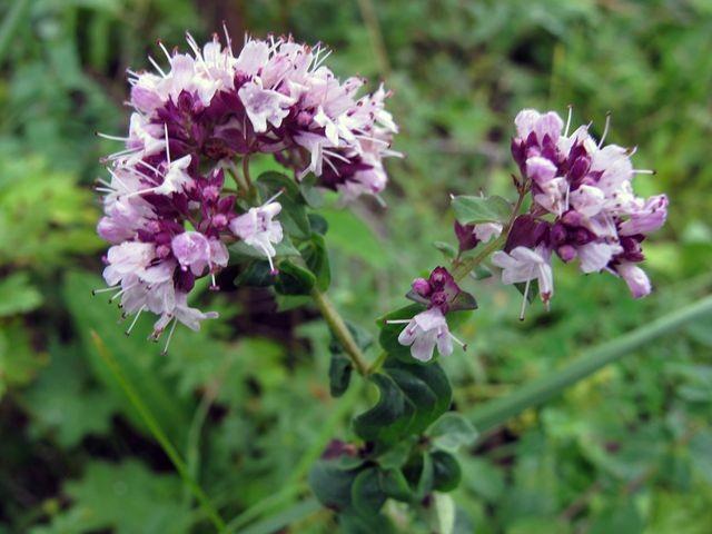 цветок душицы