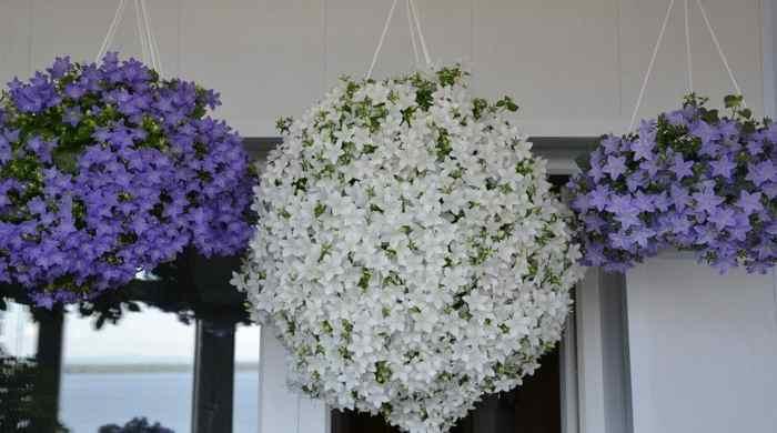 Комнатный цветок Жених и Невеста — уход в домашних условиях и разновидности кампанулы