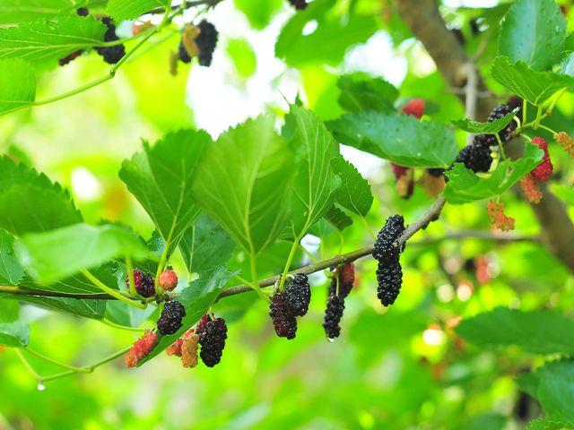 Шелковица (тутовник) полезные свойства и противопоказания применения для мужчин, женщин, детей