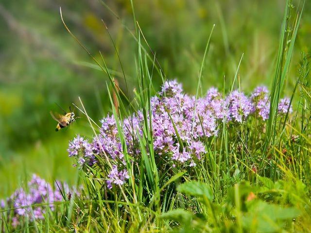 цветы чабреца