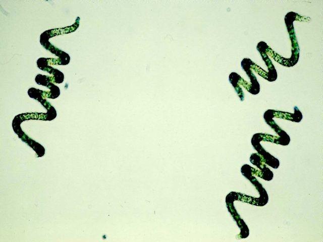 водоросли спирулина