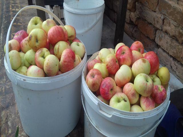 яблоки в ведрах