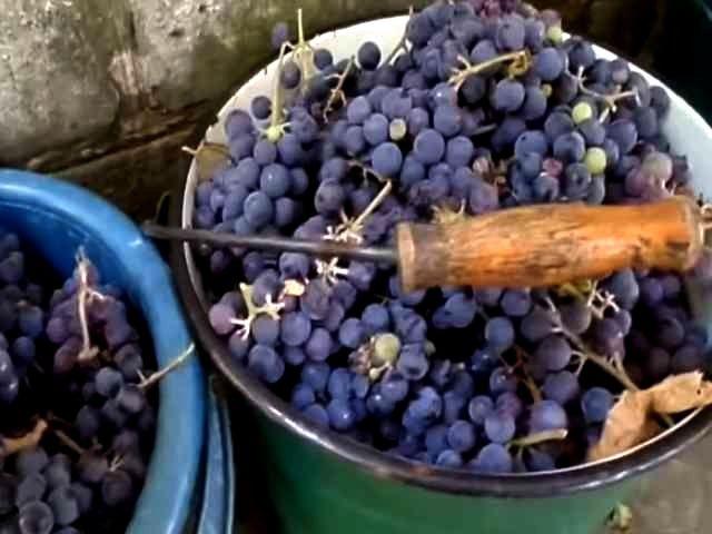 виноград в вёдрах