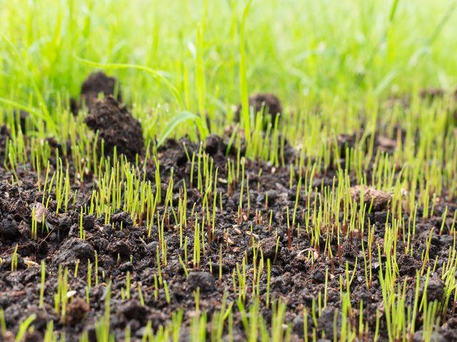 всходы травы