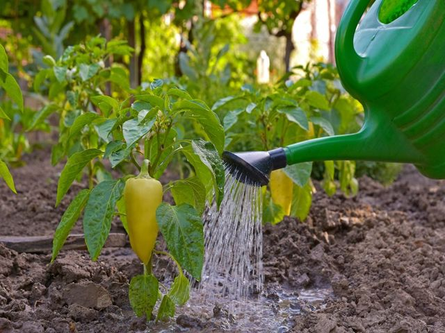 полив перцев
