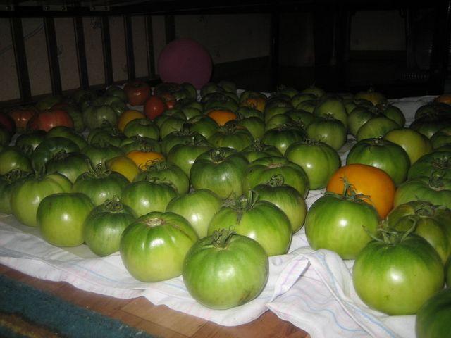 помидоры на дозревании