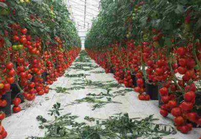 Как правильно выращивать помидоры в теплице, чтобы был большой урожай