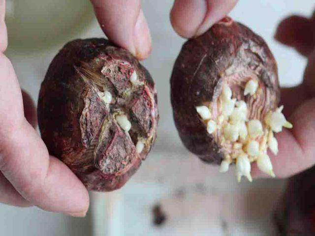 рассечение луковицы