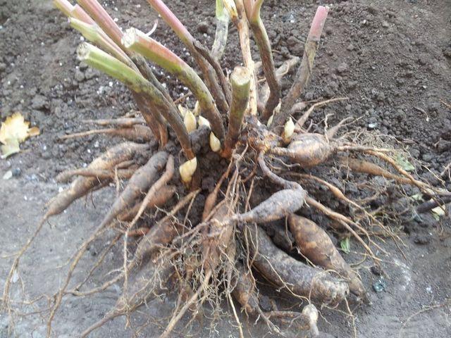 корень пиона