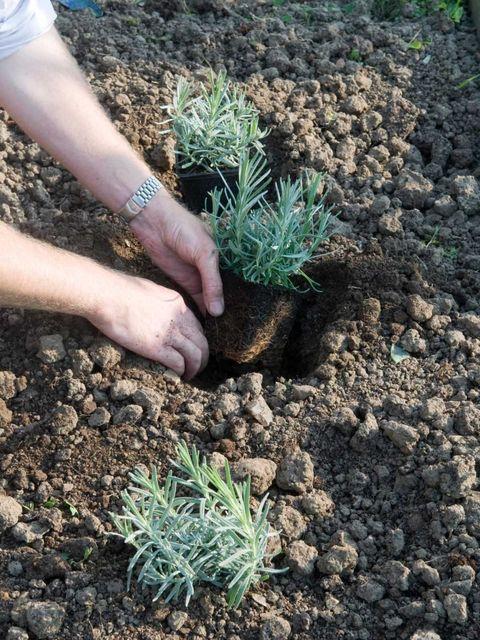 высадка лаванды в грунт